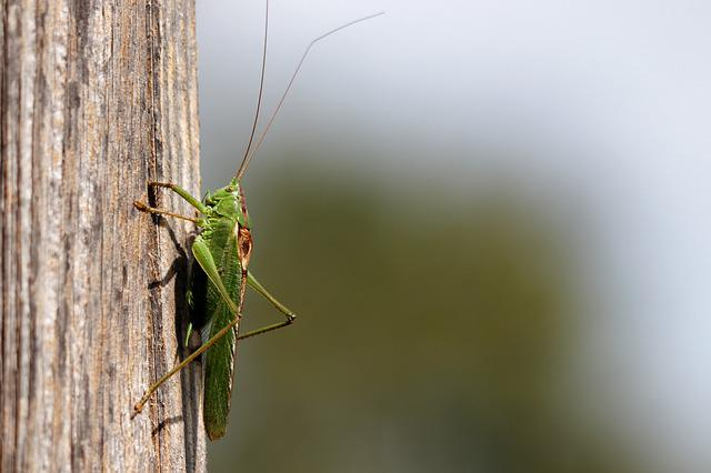 Grasshopper, Grille, Insect, Viridissima