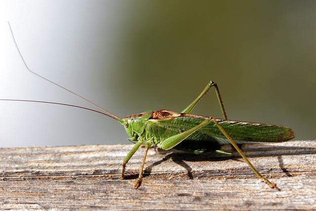 Grasshopper, Grille, Viridissima, Zirpe