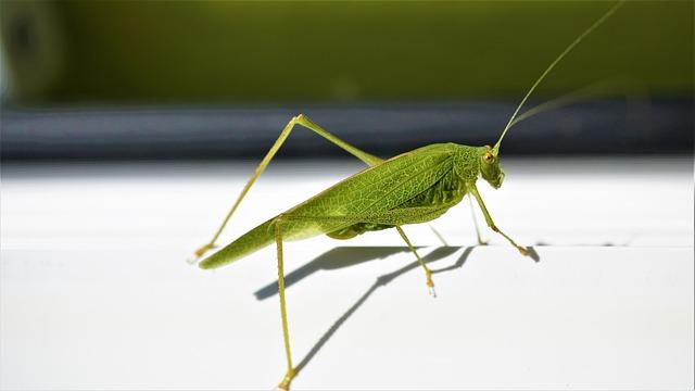 Viridissima, Grasshopper, Green, Insect, Close Up