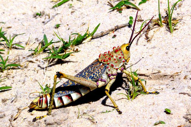 Grasshoppers, Migratory Locust, Desert, Insect, Nature