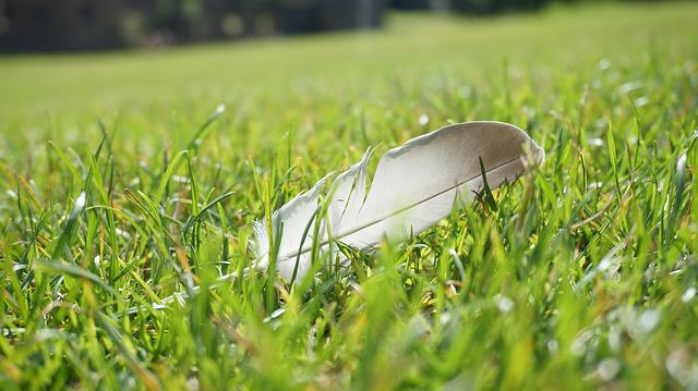 Feather, Grassland, Goose Feather