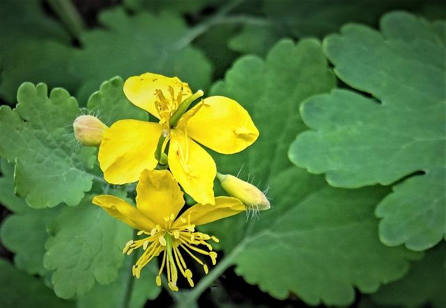 Greater Celandine, Wild Herbs, Grassland Plants