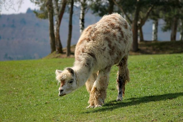 Lama, Pasture, Meadow, Graze, Andes, Paarhufer
