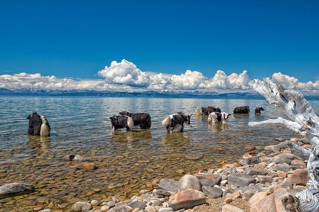 Lake, Fax Lake, Yak, Grazing