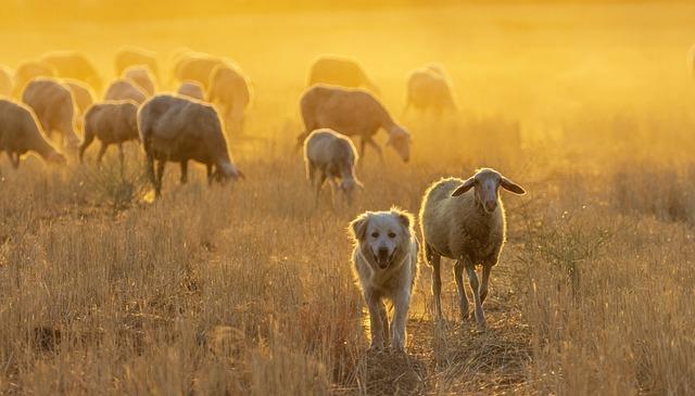 Sheep, Herd, Dog, Livestock, Grazing, Animals, Nature