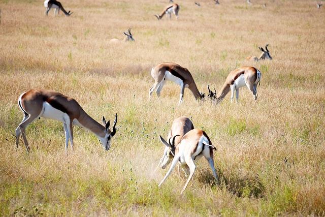 Fighting, Springbok, Grass, Grazing, Etosha, Namibia