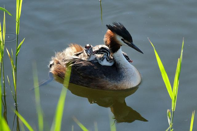 Great Crested Grebe, Chicks, Water Bird, Water, Nature