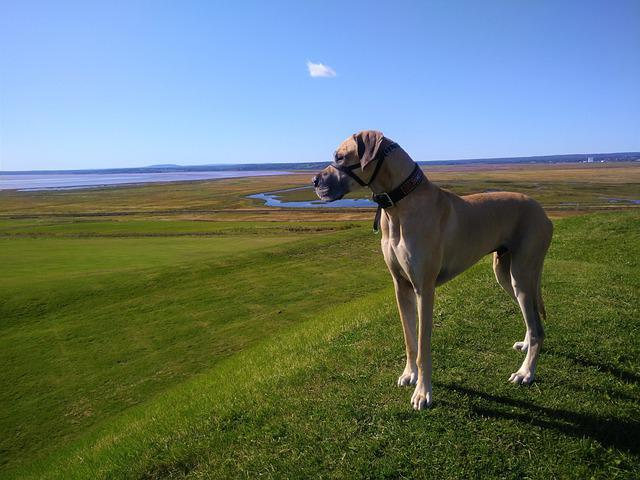 Great Dane, Fawn, New Brunswick, Fort Beausejour