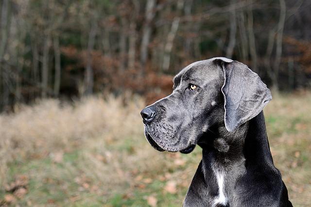 Great Dane, Portrait, Head