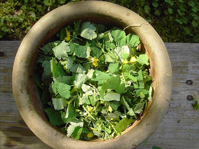 Greater Celandine, Plant, Yellow, Alchemy