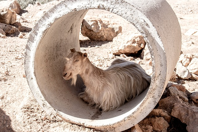 Goat, Tube, Greece, Summer, Heat