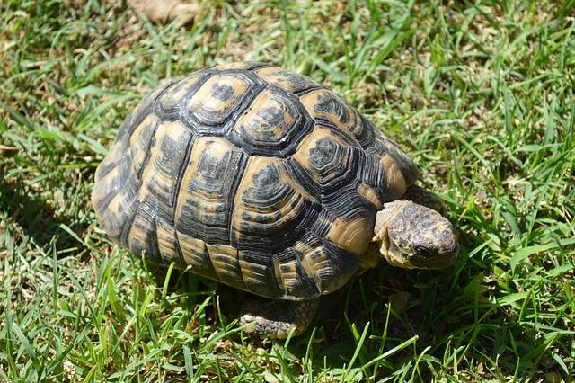 Turtle, Moorish Turtle, Greek Tortoise