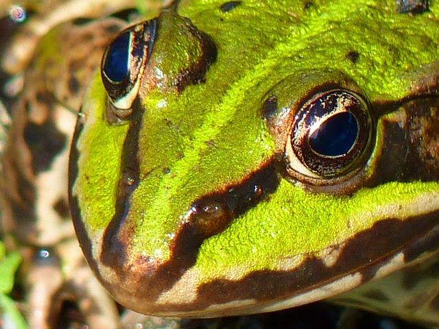 Frog Pond, Frog, Amphibian, Green, Water, Creature