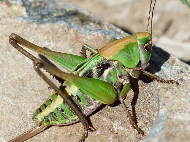 Grasshopper, Green, Close Up, Macro, Animal, Insect