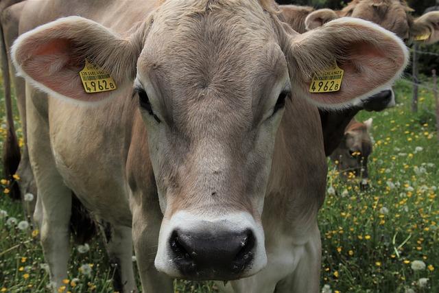 Alpine Cow, Meadow, Green Animals, Graze