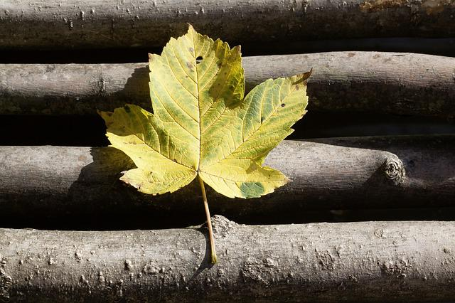 Autumn, Leaf, Maple, Nature, Yellow, Green, Web