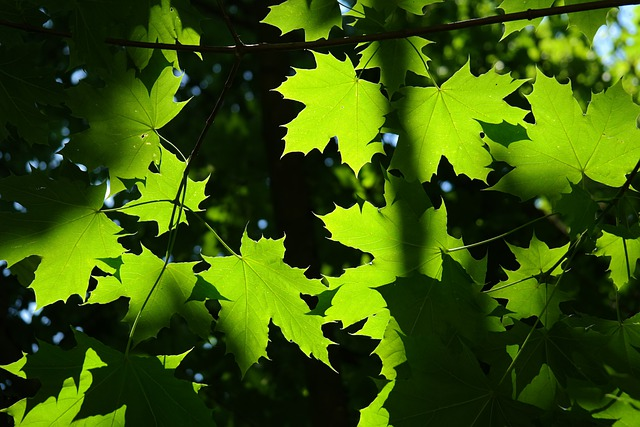 Leaves, Green, Back Light, Tree, Maple