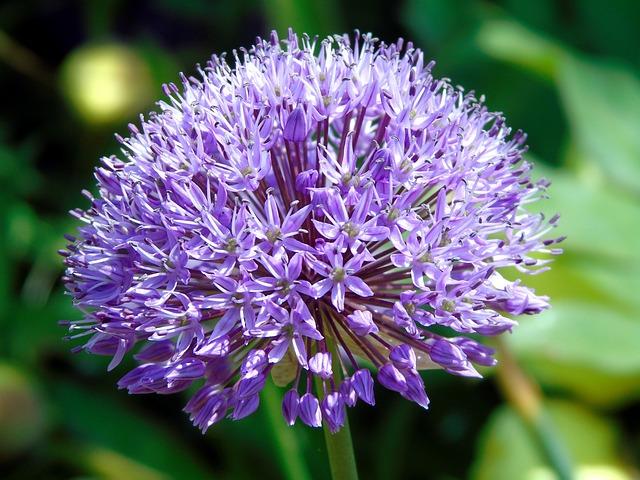 Onion, Blossom, Flower, Plant, Green, Bloom, Flora