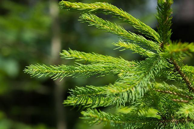 Conifer, Branch, Needles, Green, Nature, Plant, Forest