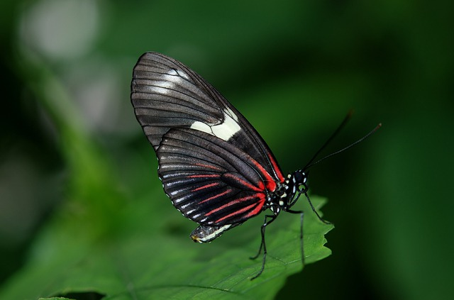 Papilio Rumanzovia, Butterfly, Animal, Black, Green