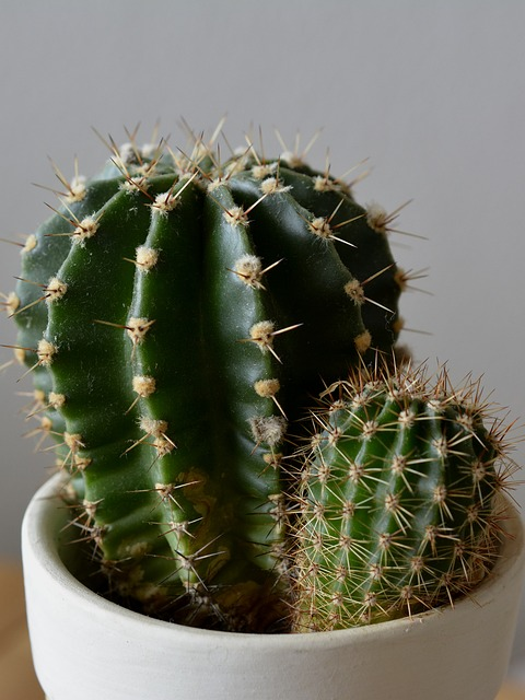Cactus, Plant, Potted Plant, Spur, Green