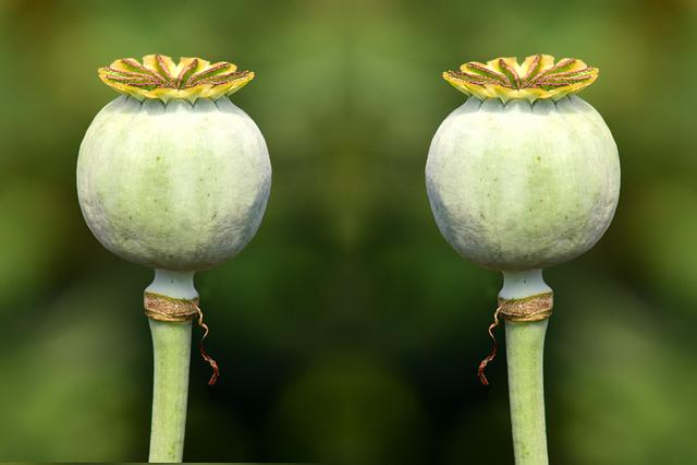 Poppy Capsules, Green, Green Capsules, Seed Capsules
