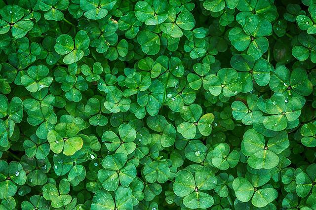 Clover, Plant, Green