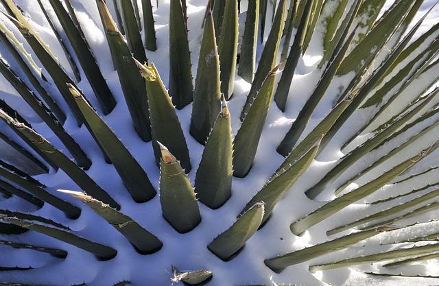 Aloe, Snow, Plant, Winter, Cold, Nature, Green, White