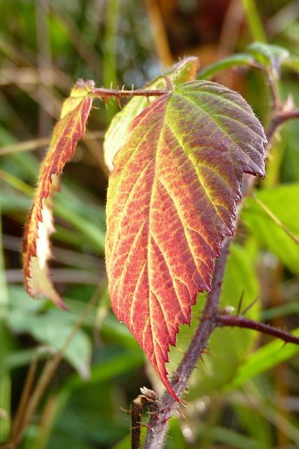 Brombeerblatt, Leaf, Blackberry, Colorful, Red, Green