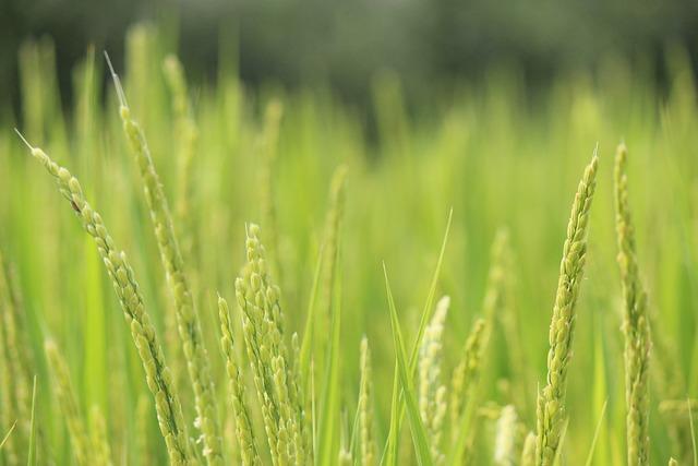 Rice, Ear Of Rice, Green, Fukushima