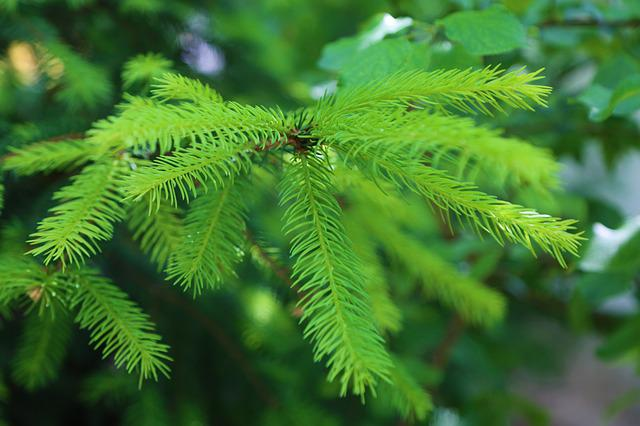 Pine, Exile, Branch, Nature, Pine Tree, Plant, Green