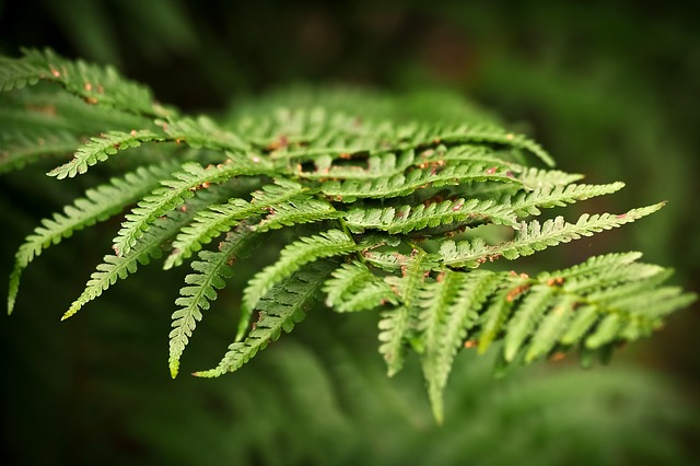 Fern, Forest, Green, Plant, Nature, Leaves