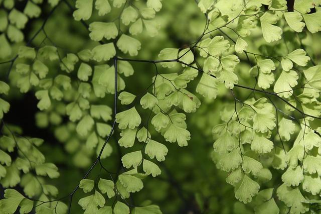 Maidenhair Fern, Houseplant, Green, Nature, Flora