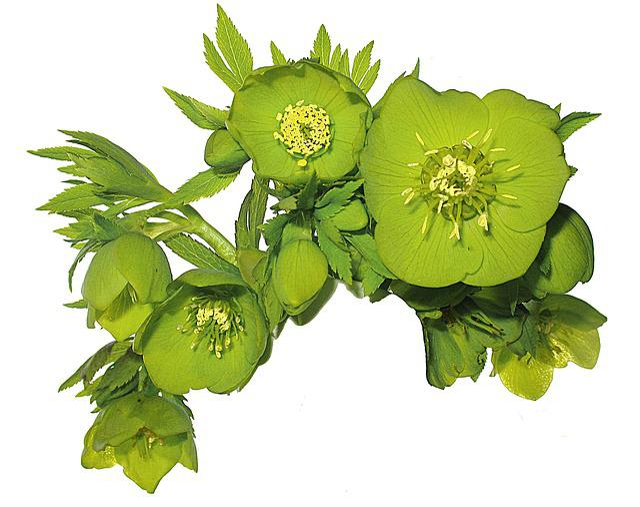 Flower, Spring, Hellebore, Green