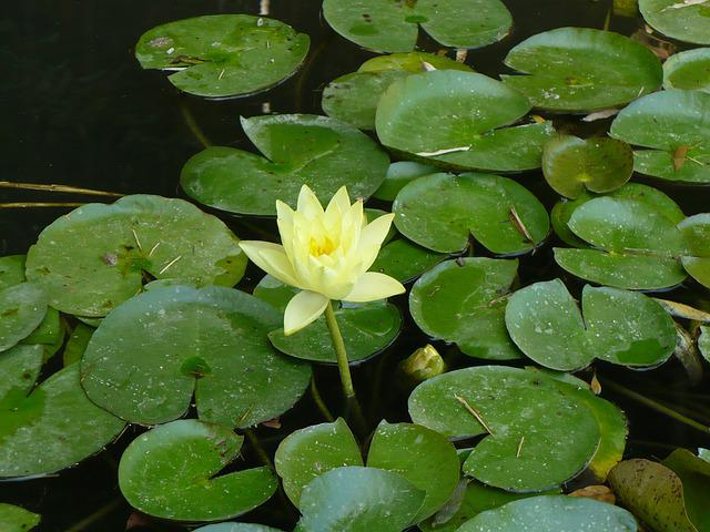 Lily, Flower, Summer, Pond, White, Green, Leaves
