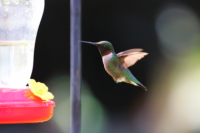 Bird, Blue, Bokeh, Flying, Green, Hummingbird, Orange