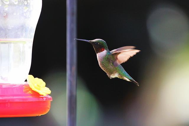 Bird, Blue, Bokeh, Flying, Green, Hummingbird, Orange