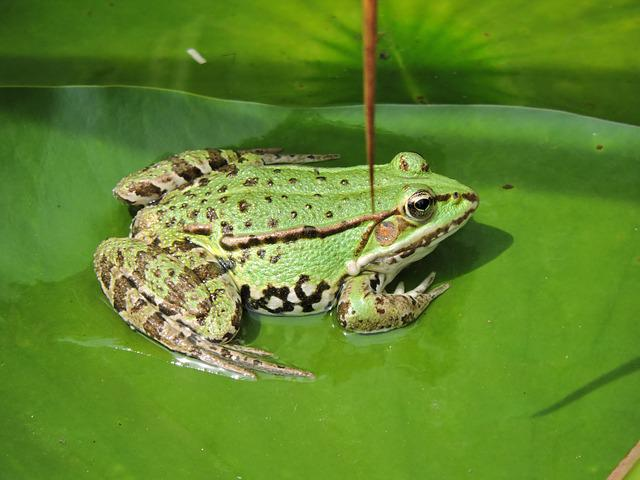 Frog, Pond, Green Frog, Aquatic Animal, Leaf, Frog Pond