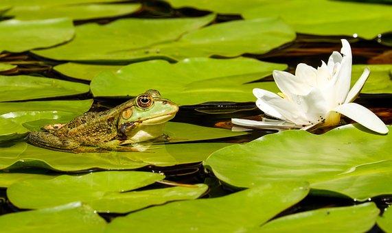Frog, Water Frog, Frog Pond, Animal, Green, Green Frog