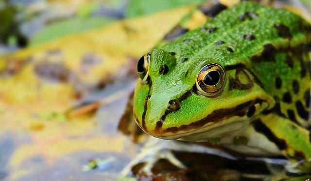 Frog, Green, Green Frog, Pond, Water, Amphibian