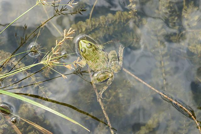 Frog, Water, Pond, Green Frog, Green, Aquatic Animal