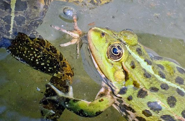 Frog, Water Frog, Animal, Green, Frog Pond, Nature