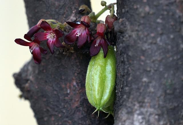 Bilimbi, Fruit, Plant, Averrhoa Bilimbi, Green Fruit