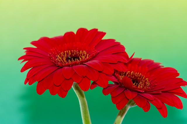 Flower, Gerbera, Red, Green, Nature, Plant, Colorful