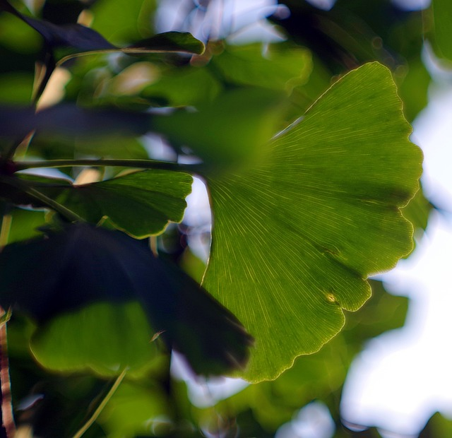 Ginkgo Japanese, Ginkgo Biloba, Leaf, Green, Memory