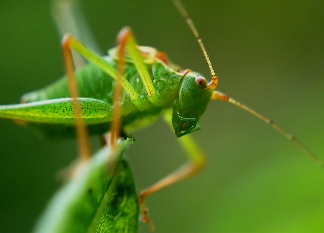 Delicate Insect, Grasshopper, Insect, Dotted, Green