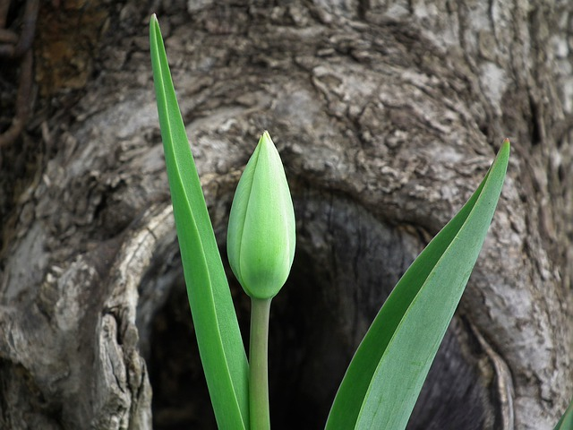 Tulip, Flower, Spring, Leaves, Bud, Green, Green Leaves