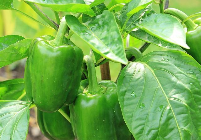 Paprika, Nachtschattengewächs, Green Peppers, Green