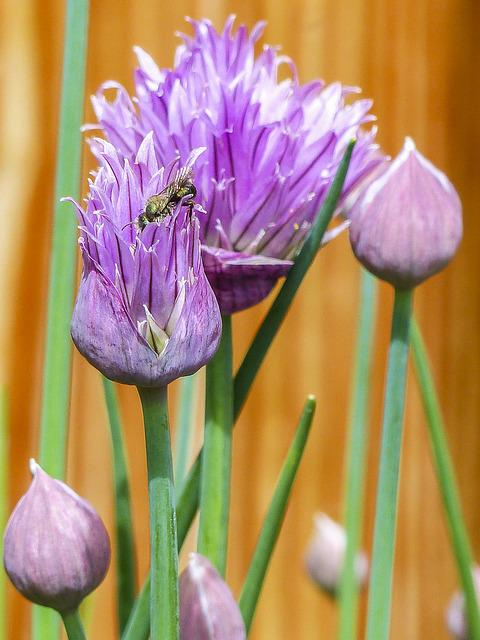 Chive, Herbal, Blooming, Herb, Purple, Green, Fresh