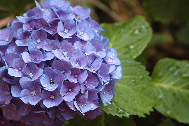 Flower, Hydrangeas, Summer, Garden, Green, Plant, Leaf